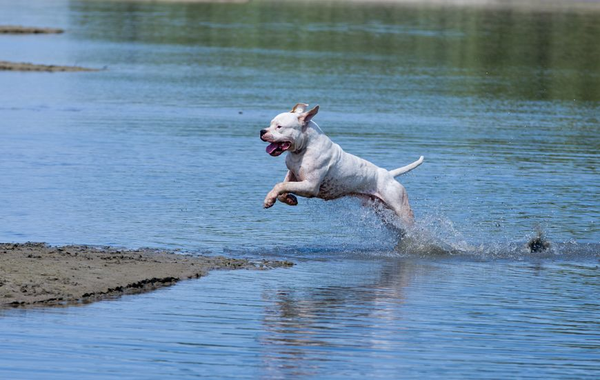 Dogue Argentin dans l'eau