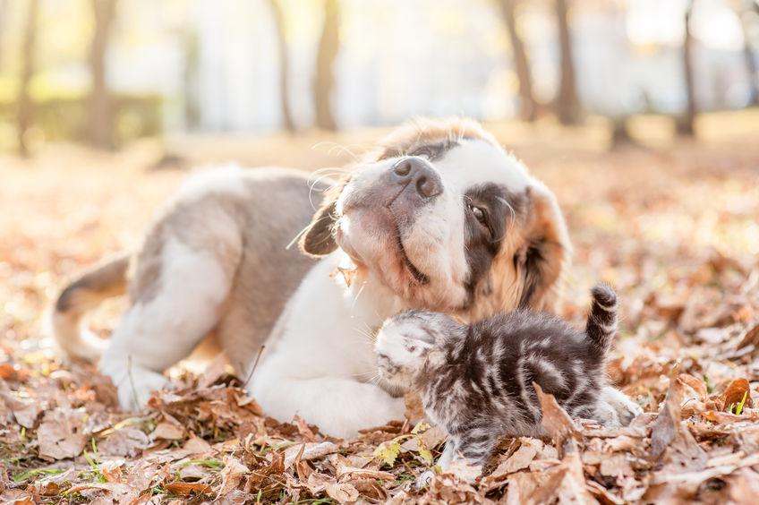 Saint Bernard avec chaton