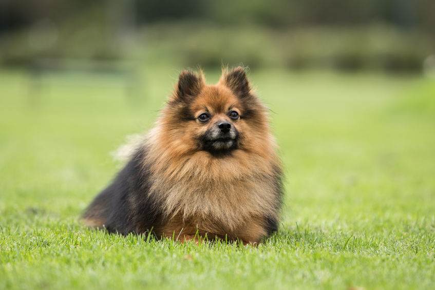 Spitz nain dans l'herbe