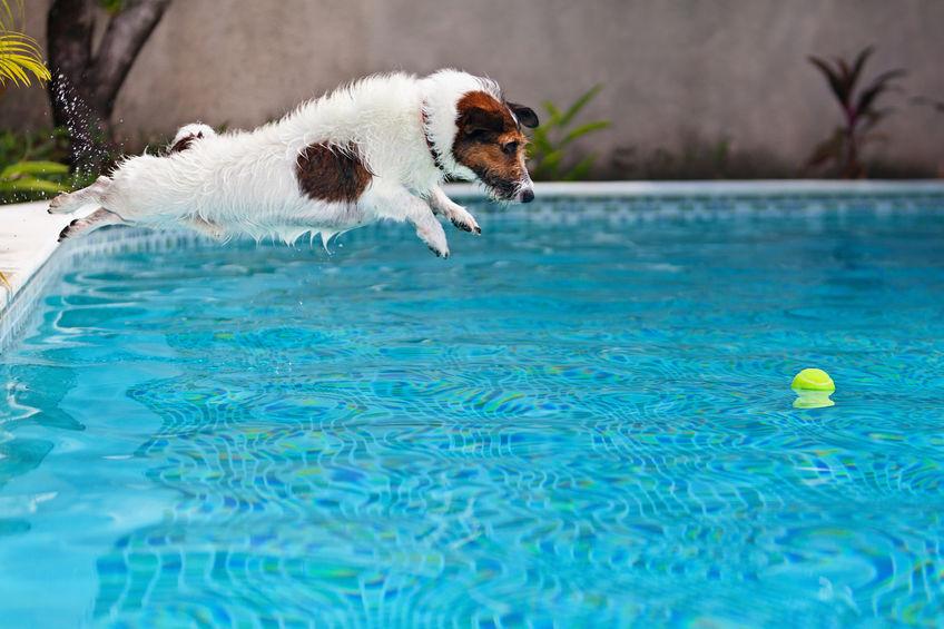 Jack Russell dans la piscine