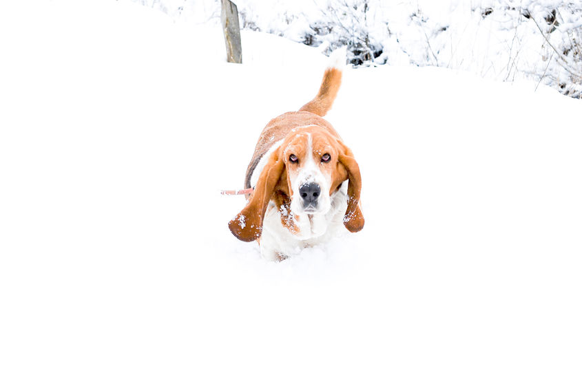 Basset Hound dans la neige