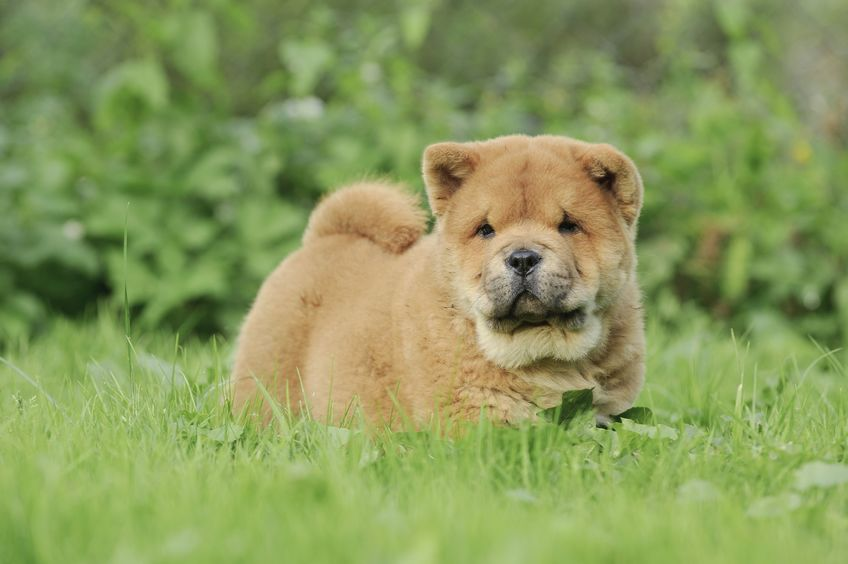 Chiot Chow-Chow