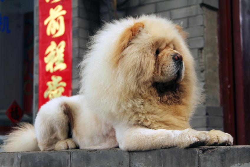 chien lion