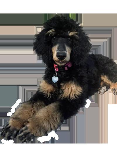 chien Particolore