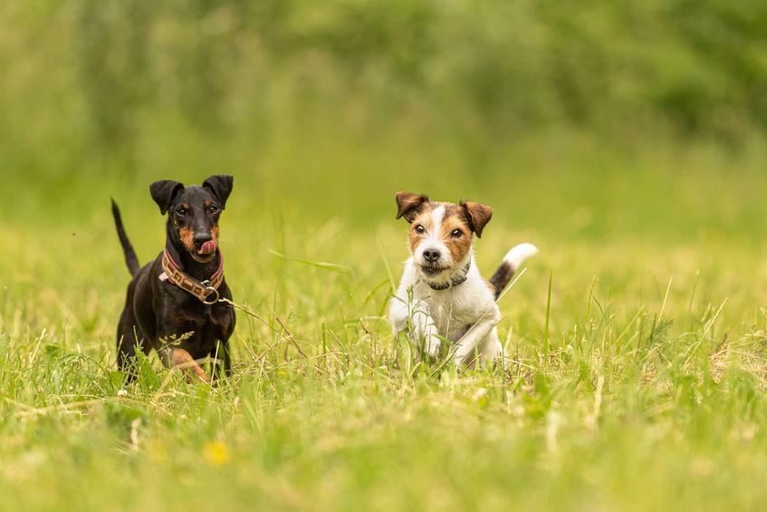 2 chiens courant dans l'herbe