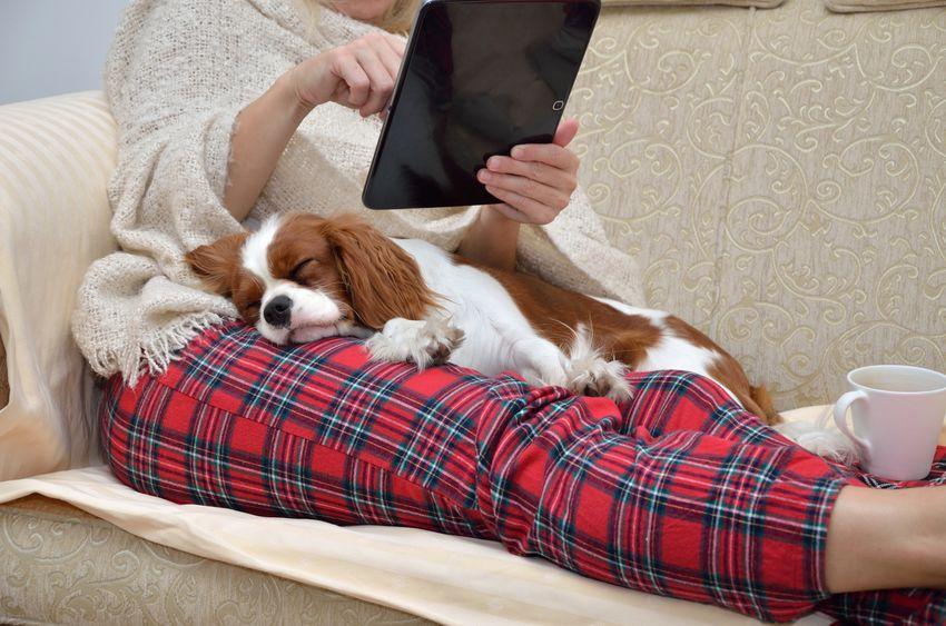 Cavalier King Charles, un chien de famille