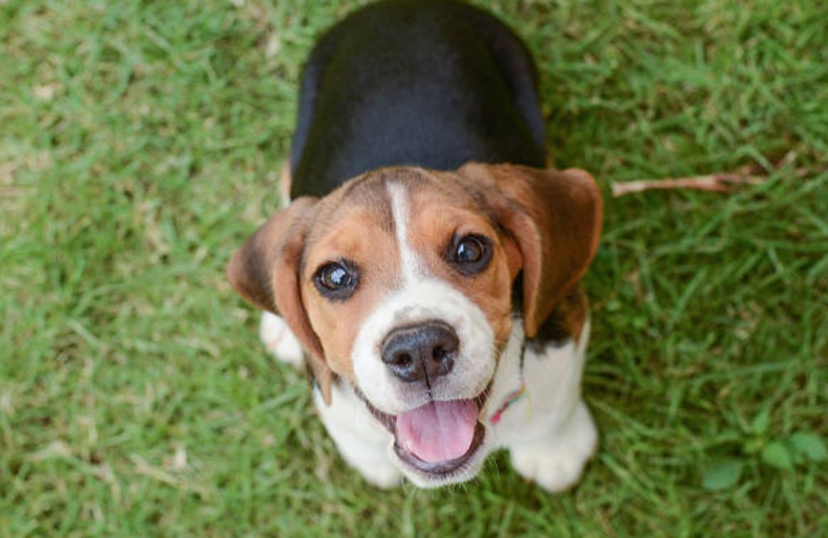 Le Beagle, un chien de famille