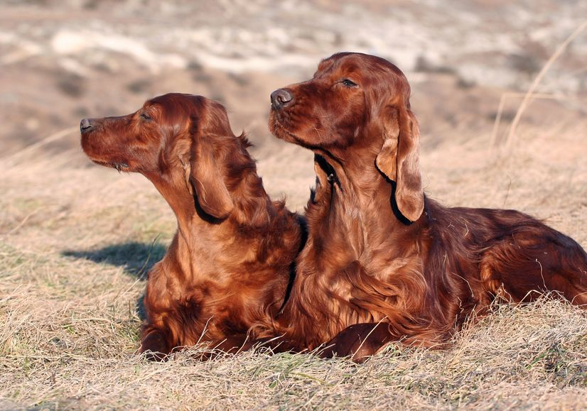 2 chiens magnifiques