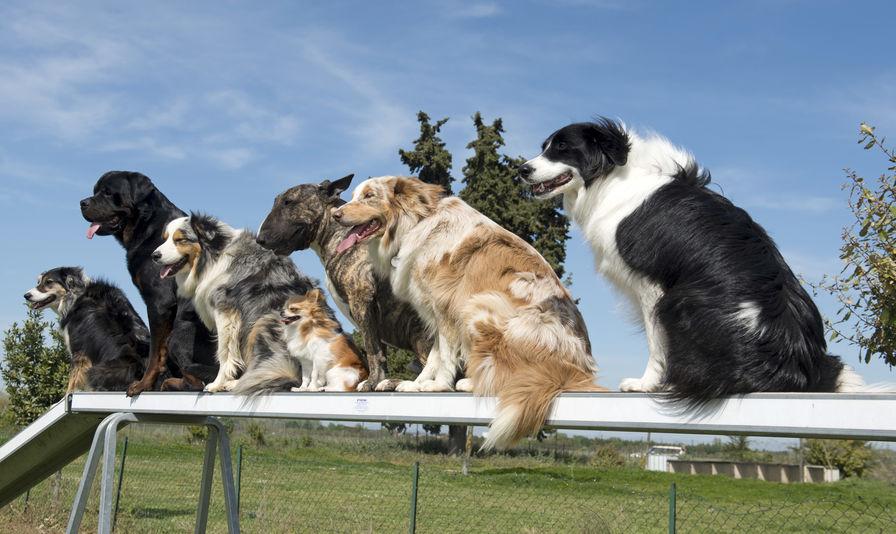dressage de plusieurs chiens wouf wouf