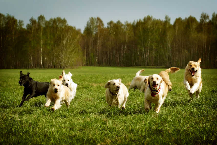 groupe de Golden retrievers