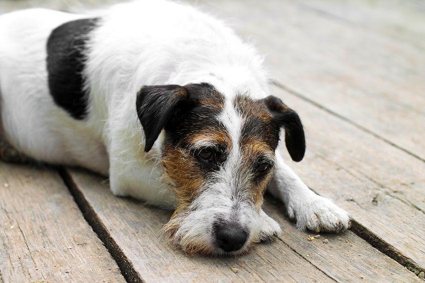 Fox Terrier allongé