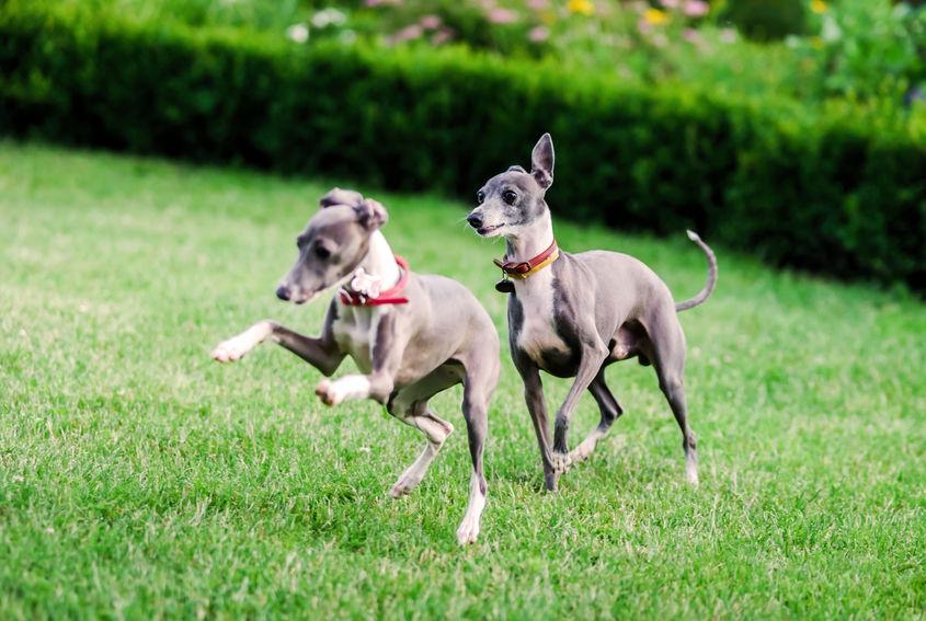 2 Italian Greyhound