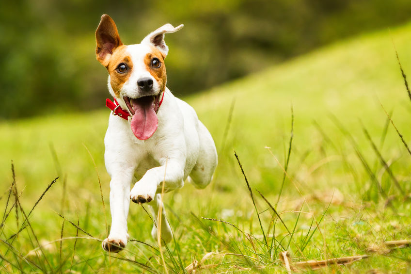 Jack Russel Wouf Wouf