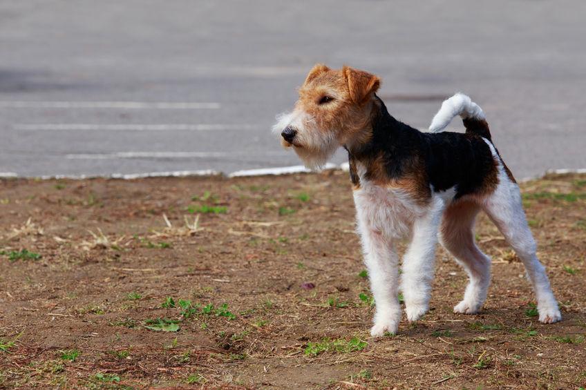 Fox Terrier Wouf Wouf