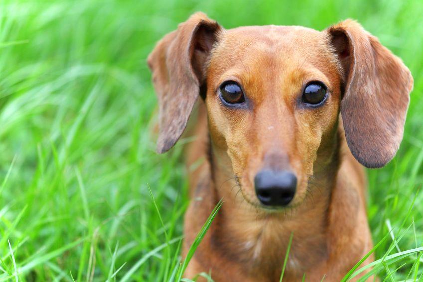 chien avec oreilles tombantes