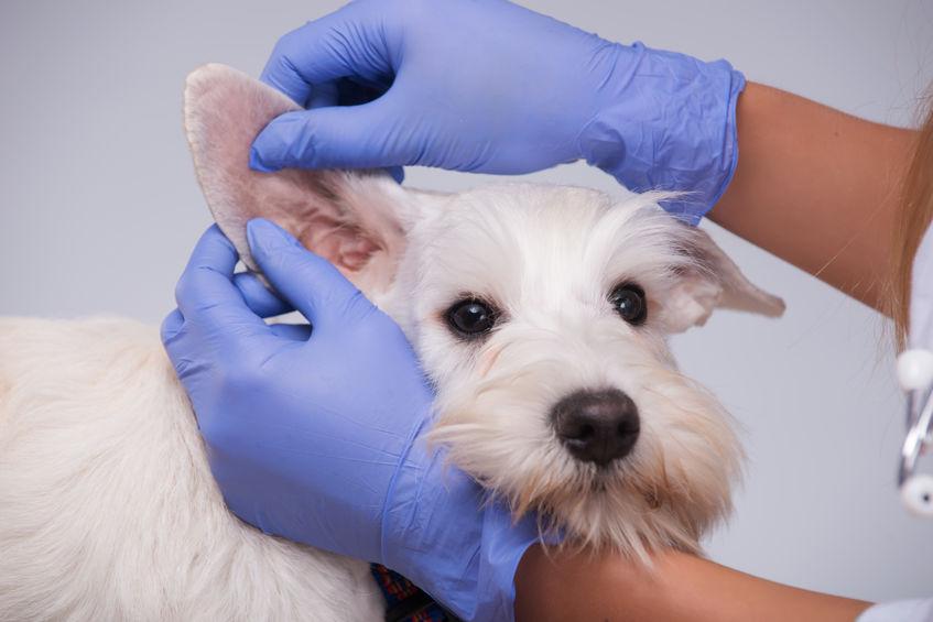 nettoyer les oreilles de son chien