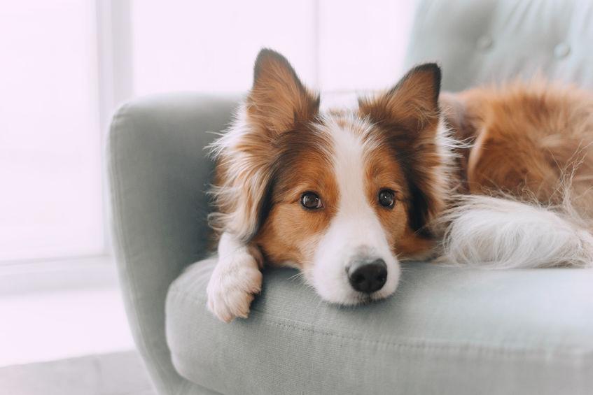 Poils sur le canapé