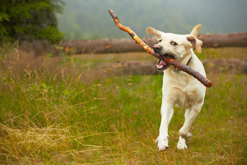 chien libre