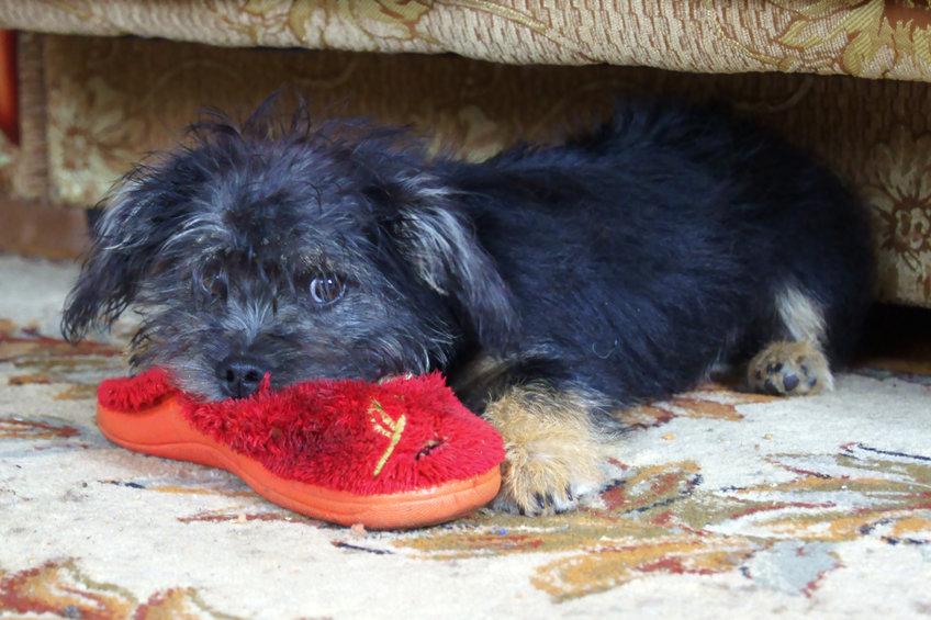 chien vole une chaussure