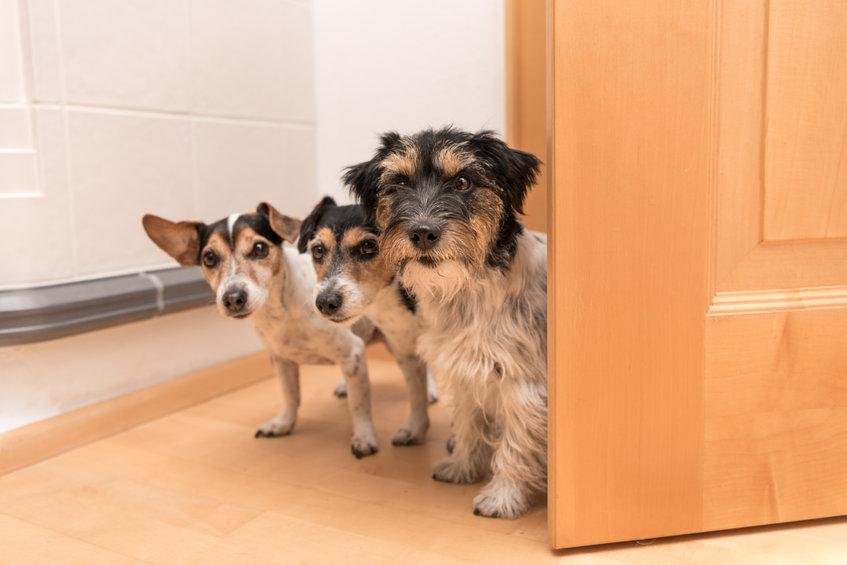plusieurs chiens à la maison