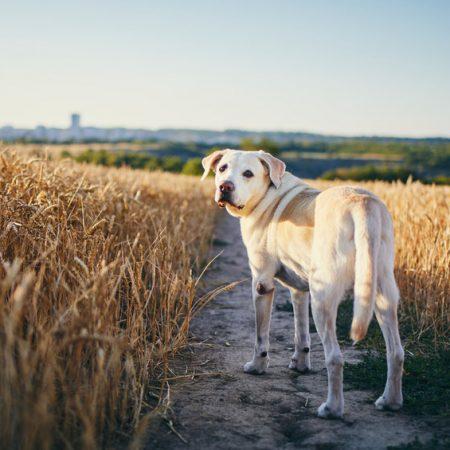 promener son chien pendant la chasse